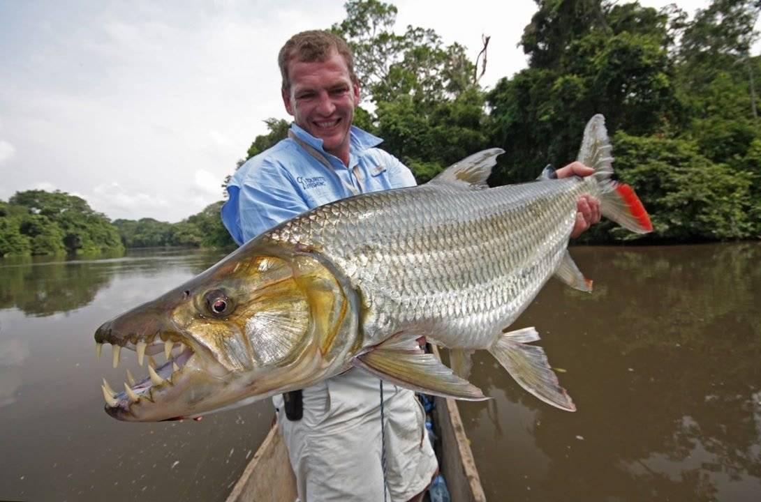 Тигровая рыба голиаф - хищник реки конго