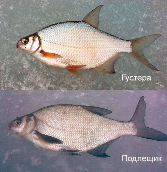 Чем отличается лещ от густеры — ловись рыбка