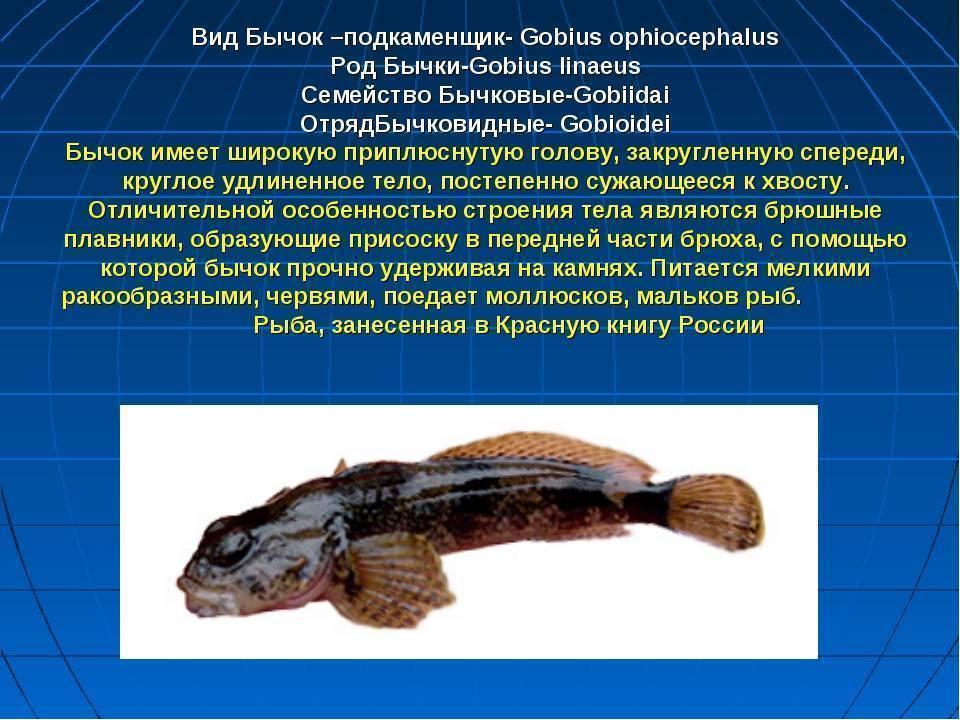 Обыкновенный подкаменщик / cottus gobio. подкаменщик обыкновенный: фото, описание. подкаменщик обыкновенный в аквариуме