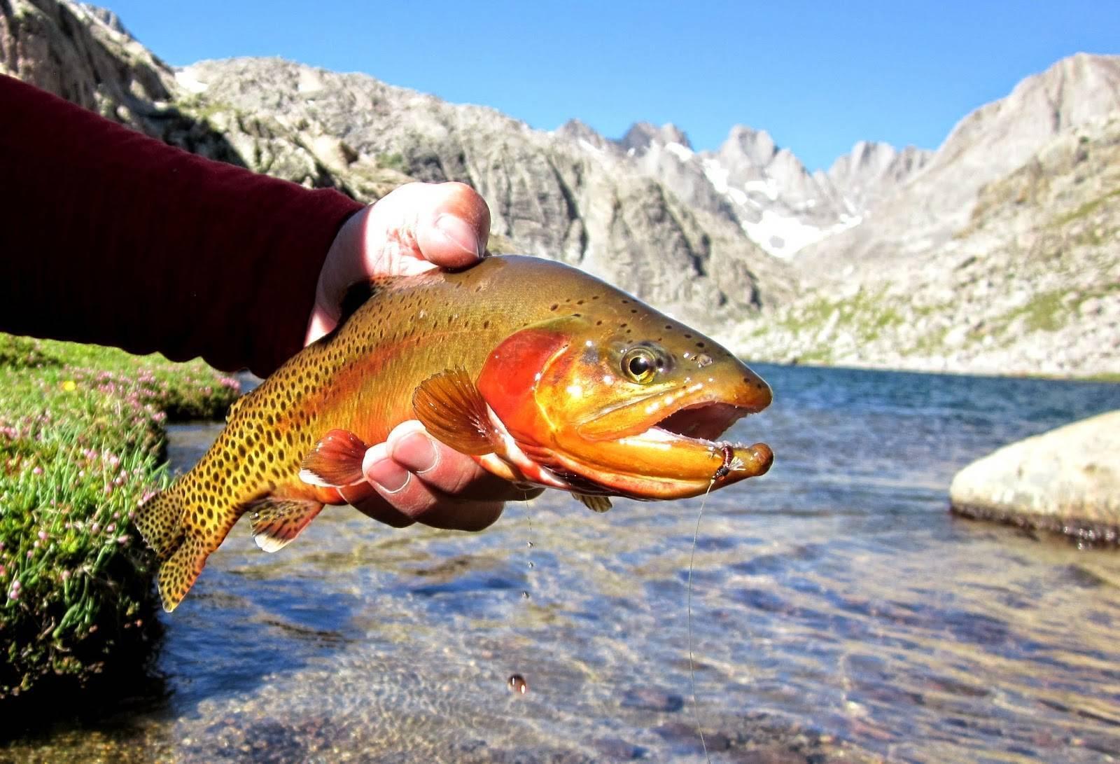 Форель радужная: все о рыбе