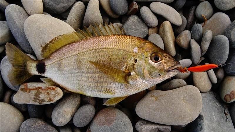Где водится самый большой ротан и описание съедобной рыбы