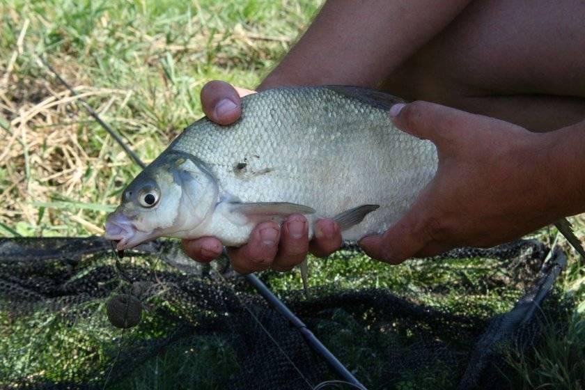 Чеснок для рыбалки (наживка для ловли карпа, леща)