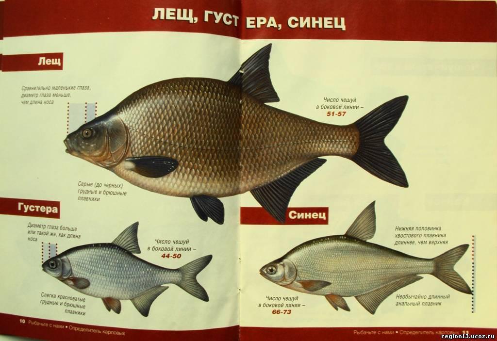 Лещ - описание рыбы, снасти для ловли, где искать, на что клюёт