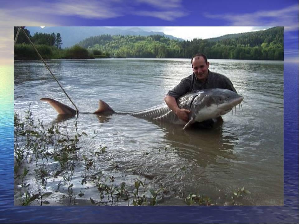 Великая (сопелки) река - всё о рыбалке на водоеме, для рыбаков города ярославль.