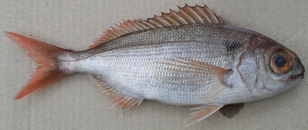 Зубатка рыба. образ жизни и среда обитания зубатки   животный мир