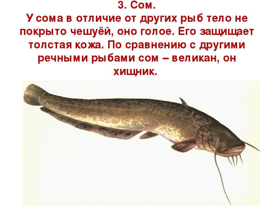 Рыба сом: описание повадок, способы ловли и особенности приготовления (100 фото)