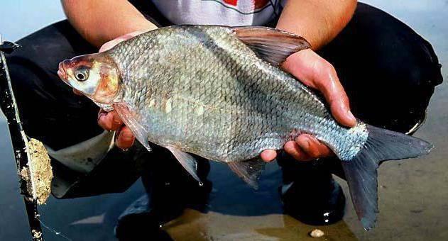 Лещ: рыба и ее виды, как выглядит и где водится подлещик, нерест икры
