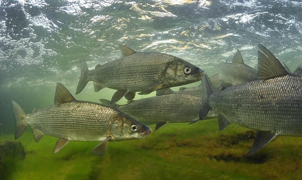 Муксун рыба – что это такое, отличия от щекура, ловля и полезные свойства
