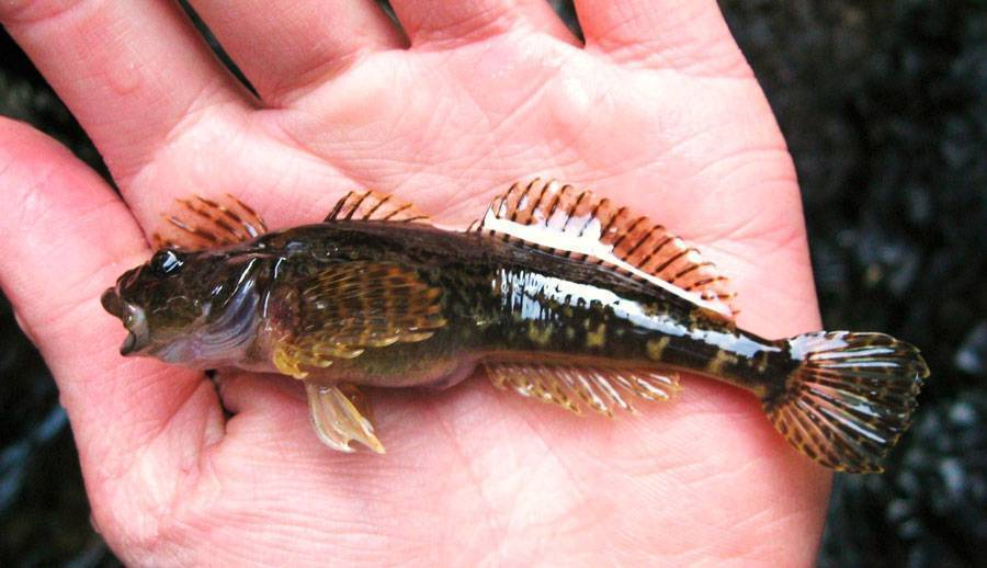 Подкаменщик обыкновенный: фото, описание. подкаменщик обыкновенный в аквариуме