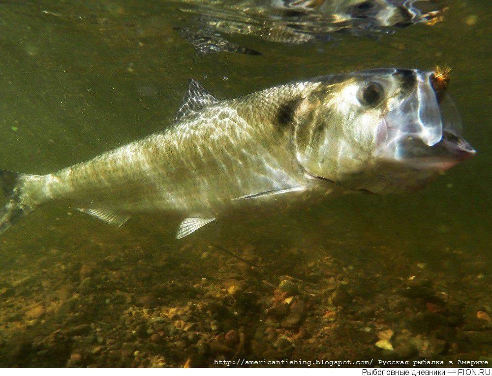 Рыба сайда
