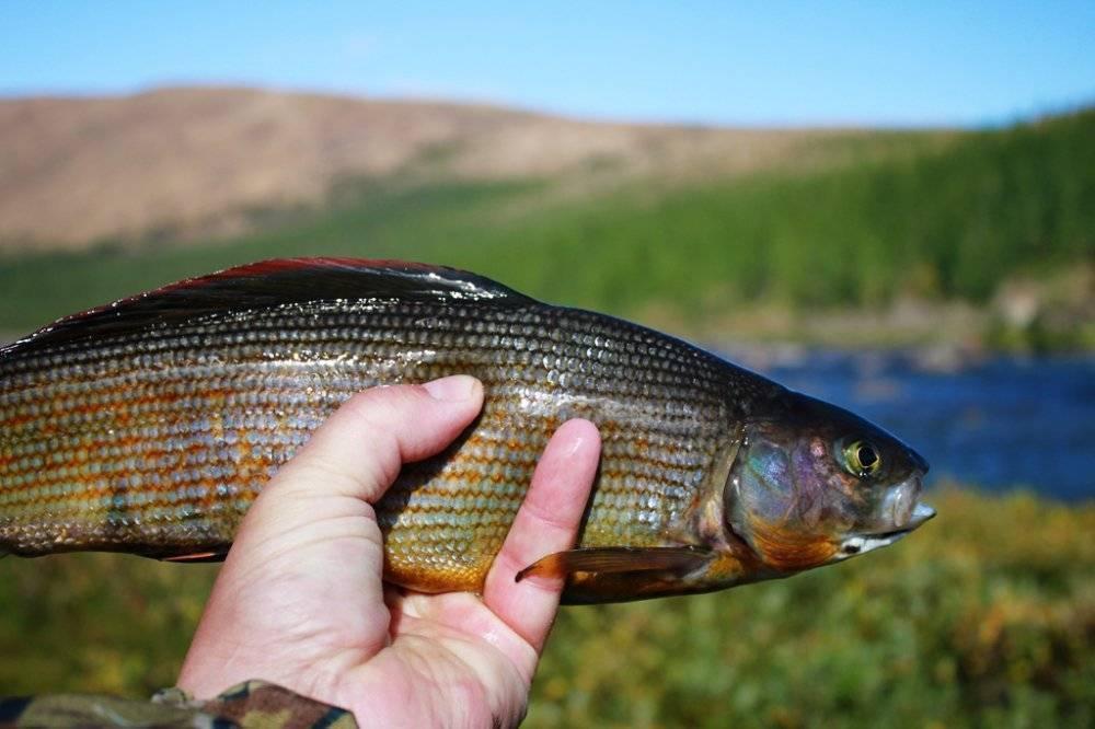 Самый большой сибирский хариус – как выглядит рыба, похожая на него